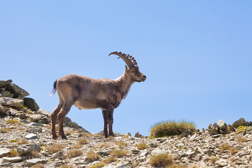 Alpine Ibex {Capra ibex ibex}. Aosta Valley, Monte Rosa Massif, Pennine Alps, Italy. July.