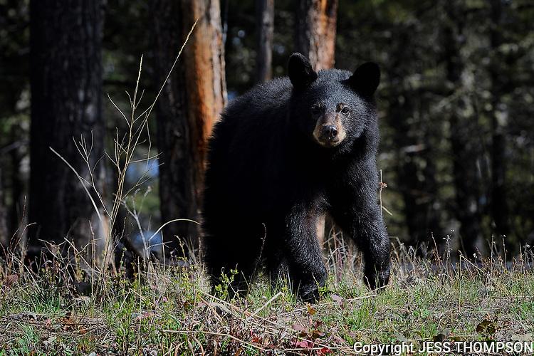 Black Bear Cu b, Yellowstone