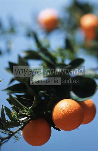 Europe/Chypre/Env de Paphos : Orange sur arbre