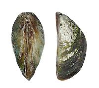 Zebra Mussel - Dreissena polymorpha