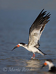 Black Skimmer (Rynchops niger) taking flight after bathing, Ft. DeSoto Park, Florida USA