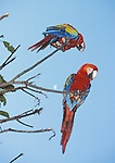 scarlet macaws and moon
