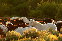 Rounded up horses, Triangle X Ranch, Grand Teton National Park, Teton County, Wyoming, USA
