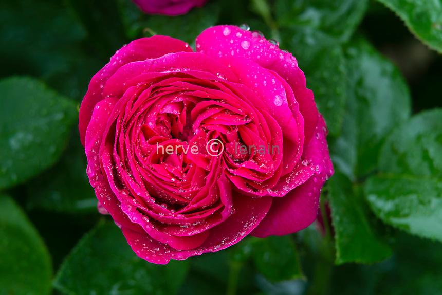 Rose 'Souvenir de Madame de Corval'