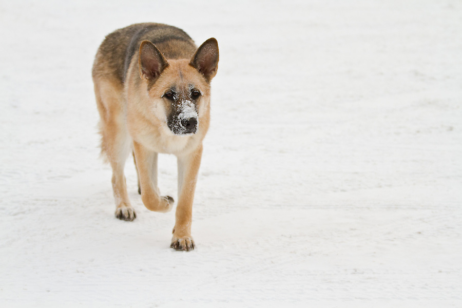 A german shepherd dog walks along the snow with a frost-coated muzzle.