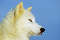 White Gray Wolf (Canis lupus)
