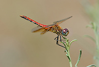 362700036 male band-winged meadowhawk sympetrum semicintum wild california