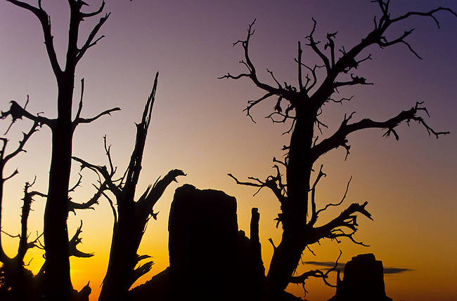 Unique sunset shot of The Mittens mesas through a junipher tree in the Monument Valley National Park and navaho Indian reservation, Utah, USA