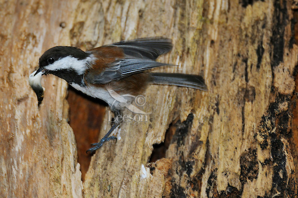 Chestnut-backed Chickadee (Poecile rufescens) removing fecal sac from nest in old snag in old growth forest in Olympic National Park rain forest, WA.  June.