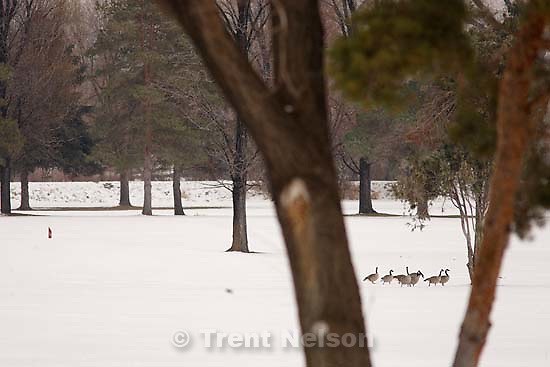 geese in park with snow<br />