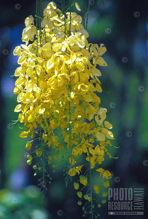 the Kassod tree (cassia siamea) flowers between July and October