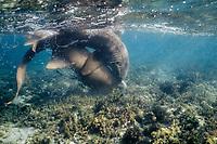nurse sharks, Ginglymostoma cirratum, mating pair, Florida Keys, Florida, Atlantic Ocean