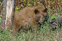 Young Cinnamon Black Bear watching through some grass at the edge of a clearing