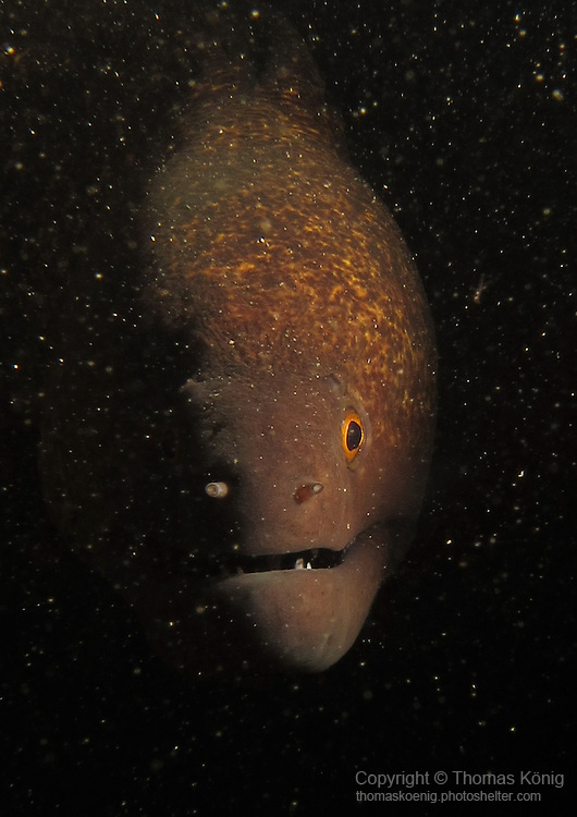 Kenting, Taiwan -- Encounter in the dark with a yellowmargin moray eel.<br /> <br /> I like this picture as the backscatter from the kicked up sand particles in the water makes it look like the moray is appearing straight out of outer space!