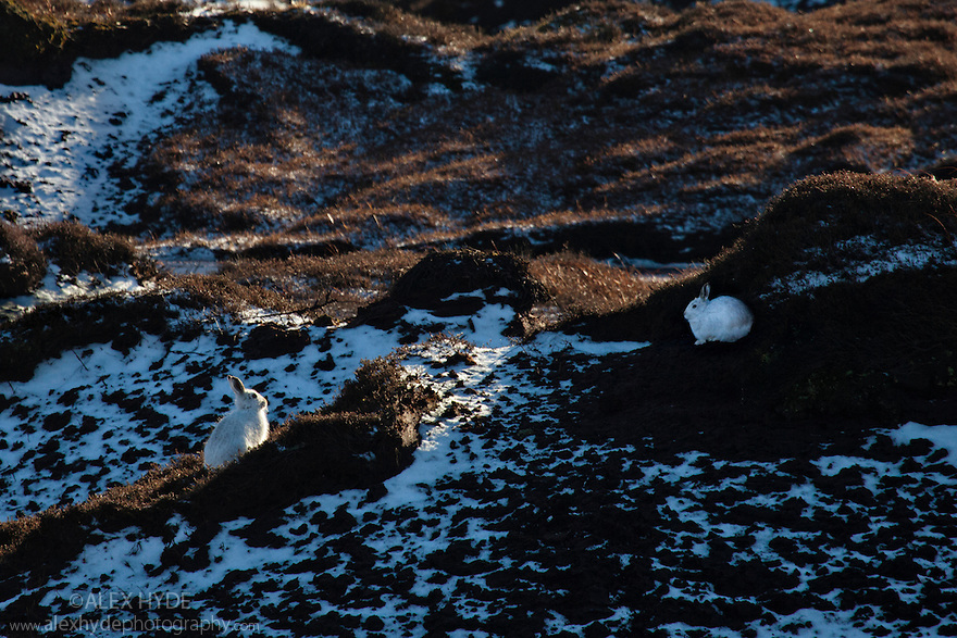 Pair of mountain hares {Lepus timidus} with white winter coats camouflaged amongst patchy snow, Kinder Scout, Peak District National Park, Derbyshire, UK. February.