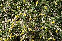 Steineiche, Stein-Eiche, Eiche, Früchte, Frucht, Eicheln, Quercus ilex, holm oak, holly oak, Evergreen Oak, oak, fruit, acorn, acorns