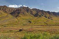 Grizzly bear on the tundra landscape, Alaska Range, Denali National Park, Alaska.