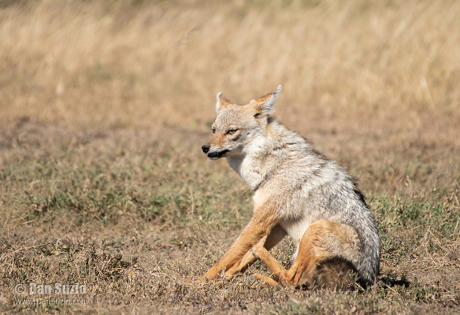 East African Jackal (Black-backed Jackal), Canis mesomelas schmidti, in Serengeti National Park, Tanzania