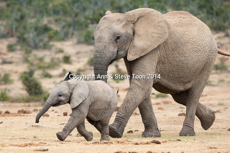 African elephant (Loxodonta africana) and calf, running to water, Addo Elephant national park, South Africa, February 2014
