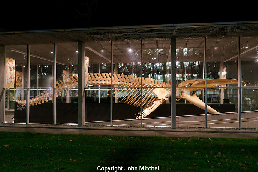 Complete blue whale skeleton at night, Beaty Biodiversity Museum, University of British Columbia, , Vancouver, BC, Canada.