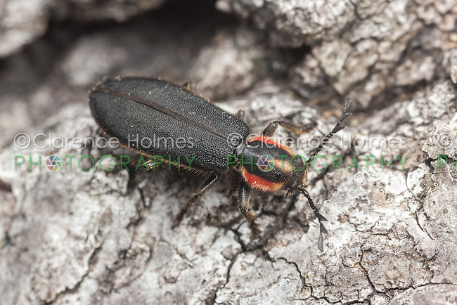 A Checkered Beetle (Chariessa pilosa) explores on the bark of a dead tree.