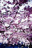 Körsbärsblom, Japan, WSJ 2015, WSJ Japan, Rosa träd