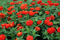 Zinnia 'Firecracker', hot colored annual flowers
