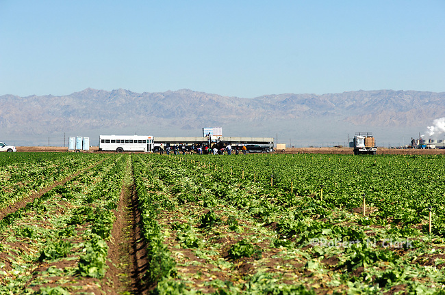 Lettuce field in the Imperial Valley of California