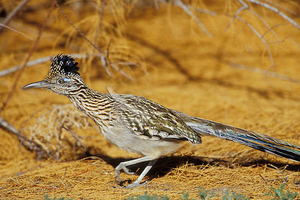 Greater Roadrunner (Geococcyx californianus), Bosque del Apache National Wildlife Refuge, New Mexico.  Winter.