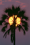 Sunset and palm, Ngamiland, Okavango Delta, Botswana