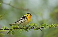 Blackburnian Warbler (Dendroica fusca), South Padre Island, Texas, USA