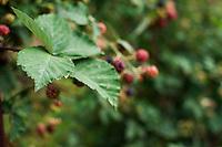 Details of blackberries ripening.