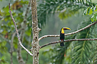 Chestnut-mandibled Toucan or Swainson's Toucan (Ramphastos swainsonii or Ramphastos ambiguus swainsonii) in the rain.  Found from Honduras south through Central America into northern South America.  These photos are from Costa Rica.