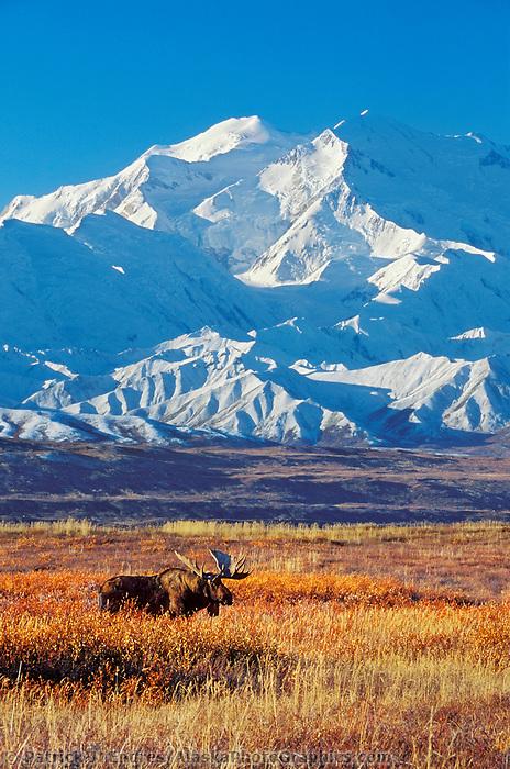 Bull moose in autumn tundra grasses in front of Denali, Denali National Park, Alaska.