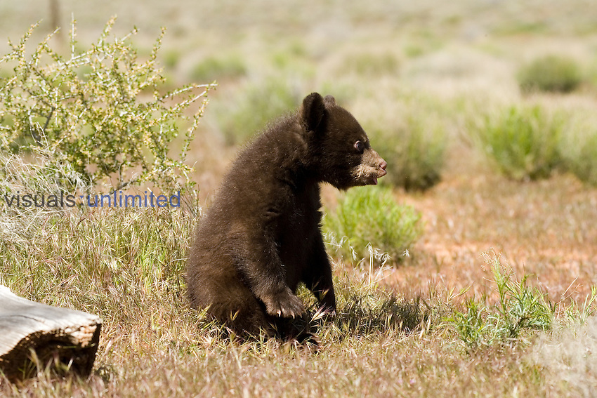 A Black Bear cub ,Ursus americanus,, North America.