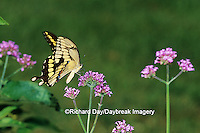 03017-00312 Giant Swallowtail (Papilio cresphontes) on Verbena Bonariensis, Marion Co.  IL