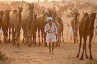 A camel owner with his camels at Pushkar fair ground.  Rajasthan, India.