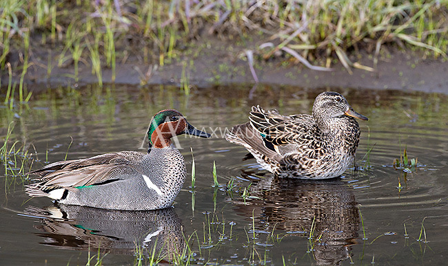 The green-winged teal is occasionally seen in small ponds near Yellowstone's roads.