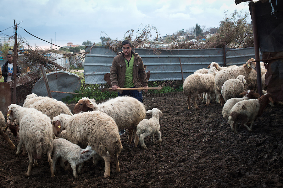 GAZA,Erez: Hassan brings back his sheeps to their enclosure where the lambs are waiting for the ewes in order to be feeded.  <br /> <br /> GAZA, Erez: Hassan a ramen&eacute; les moutons et brebis dans leur enclos o&ugrave; les agneaux attendaient de pouvoir se nourrir du lait des brebis.