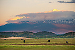 Grazing cattle, Mount Shasta, 14,162 feet, surrounded by clouds at sundown, Calif.