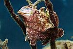 Antennarius multiocellatus, Longlure frogfish, Roatan
