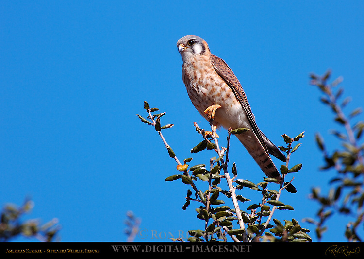 American Kestrel Female, Sepulveda Wildlife Refuge, Southern California