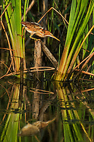 508730010 a wild least bittern ixobrychus exilis perches delicately on a tall reed in a pond while hunting fish prey in anahuac national wildlife refuge texas