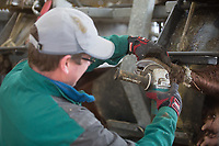 Foot trimming cattle <br /> Picture Tim Scrivener 07850 303986<br /> &hellip;.covering agriculture in the UK&hellip;.