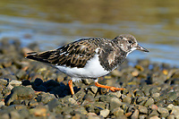 Turnstone - Arenaria interpres