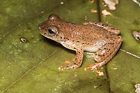 Espécie: Dendropsophus haraldschultzi (Bokermann, 1962)<br /> .<br /> Espécie de perereca pouco conhecida, com distribuição restrita ao oeste da Amazônia--registros no Brasil (Amazonas, Acre), Colombia e Peru. A espécie foi nomeada pelo Dr. Werner Bokerman em homenagem do etnólogo Harald Schultz. O Dr. Shultz estudou os povos indígenas amazônicos por muitos anos e, aparentemente, em seus intervalos também coletava anfíbios. Bokerman menciona que sua homenagem se deu pois o Dr. Shultz foi o coletor da espécie e também coletou inúmeros anfíbios curiosos.<br /> .<br /> Imagem feita em 2017 durante expedição científica para a região do Lago Tefé, Tefé, Amazonas, Brasil. A expedição, financiada pelo  Conselho Nacional de Desenvolvimento Científico e Tecnológico, teve o abjetivo de reencontrar espécies de anfíbios descritas pelo explorador Johann Baptist von Spix no ano de 1824.