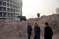 Cows waiting to be butchered stand on a mound of dirt at a construction site in a new section of Kashgar, Xinjiang, China.
