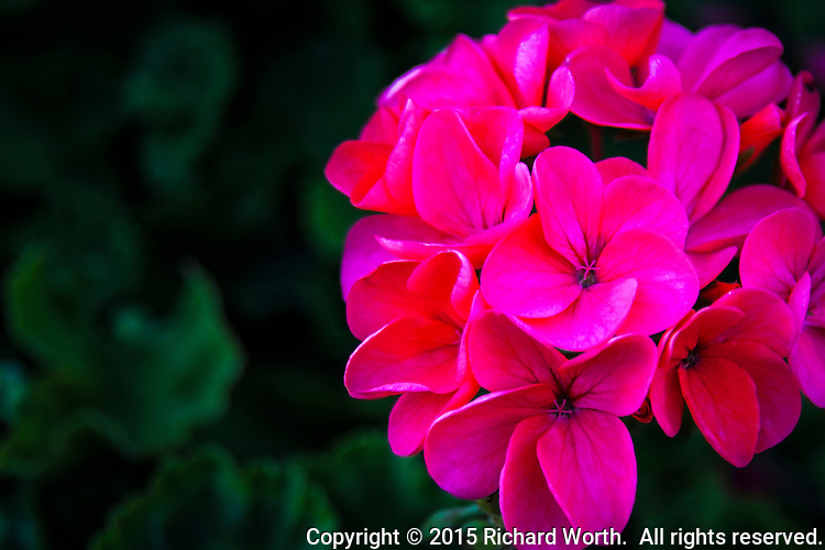 A cluster of brilliant geranium blossoms against a background of deep green geranium plant leaves.