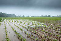 Waterlogged maize follwing heavy rain - Lincolnshire, June