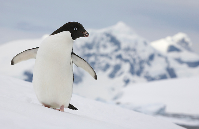 Adelie Penguin on a snow bank at Prospect Point with the mountains of Renaud Island as a backdrop. Antarctica